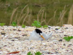 fairy-tern-on-nest-565(li)