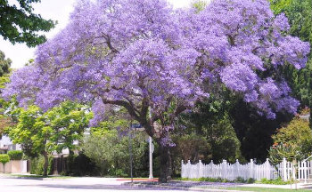 Gardening with gael jacaranda bloom a beauty gumiabroncs Gallery