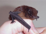 Long tailed bat-293